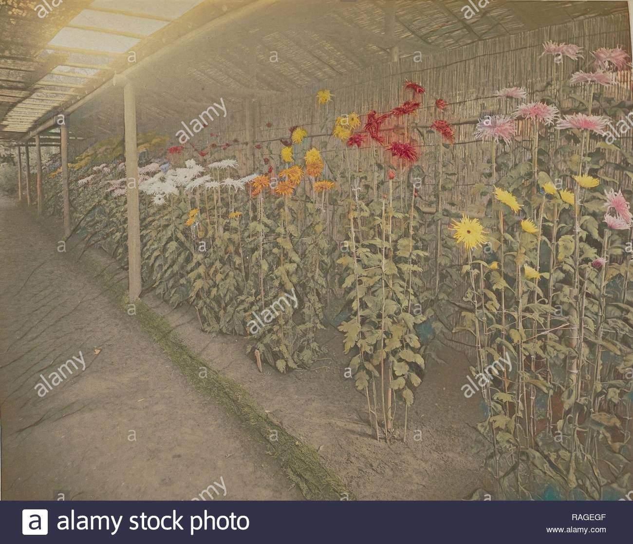 chrysantheme garten kazumasa ogawa japanisch 1860 1929 yokohama japan 1896 von hand gefarbt lichtdruck 229 x neuerfundene ragegf