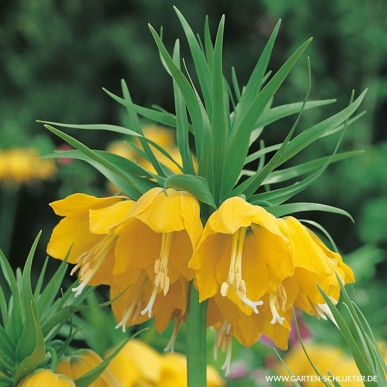 garten ringelblume das beste von kaiserkrone lutea gelb 1 stuck fritillaria imperialis lutea gelb of garten ringelblume