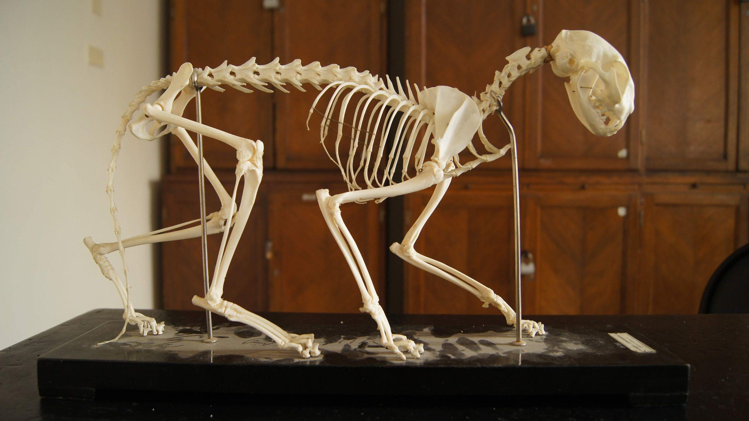 Felis catus skeleton JPG