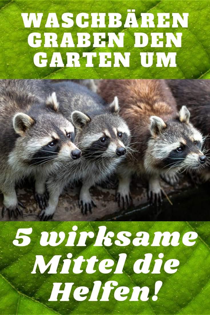 Katzen Vertreiben Garten Luxus Was Tun Wenn Waschbären Den Garten Umgraben Und Beete