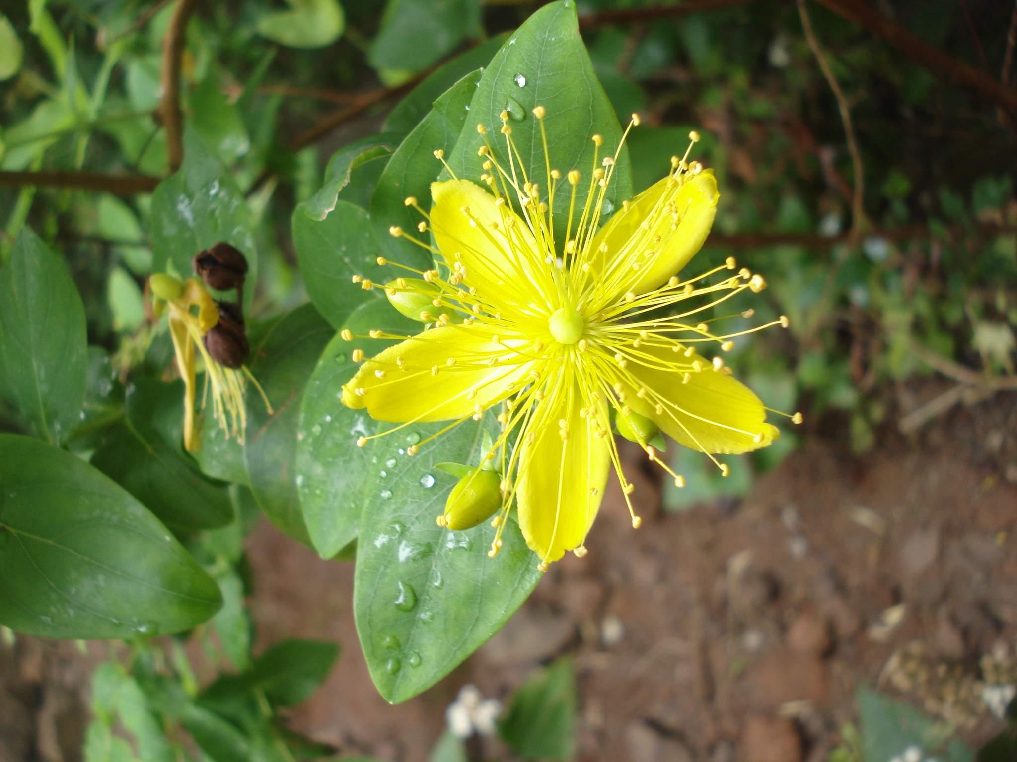 Malfurada Hypericum grandifolium