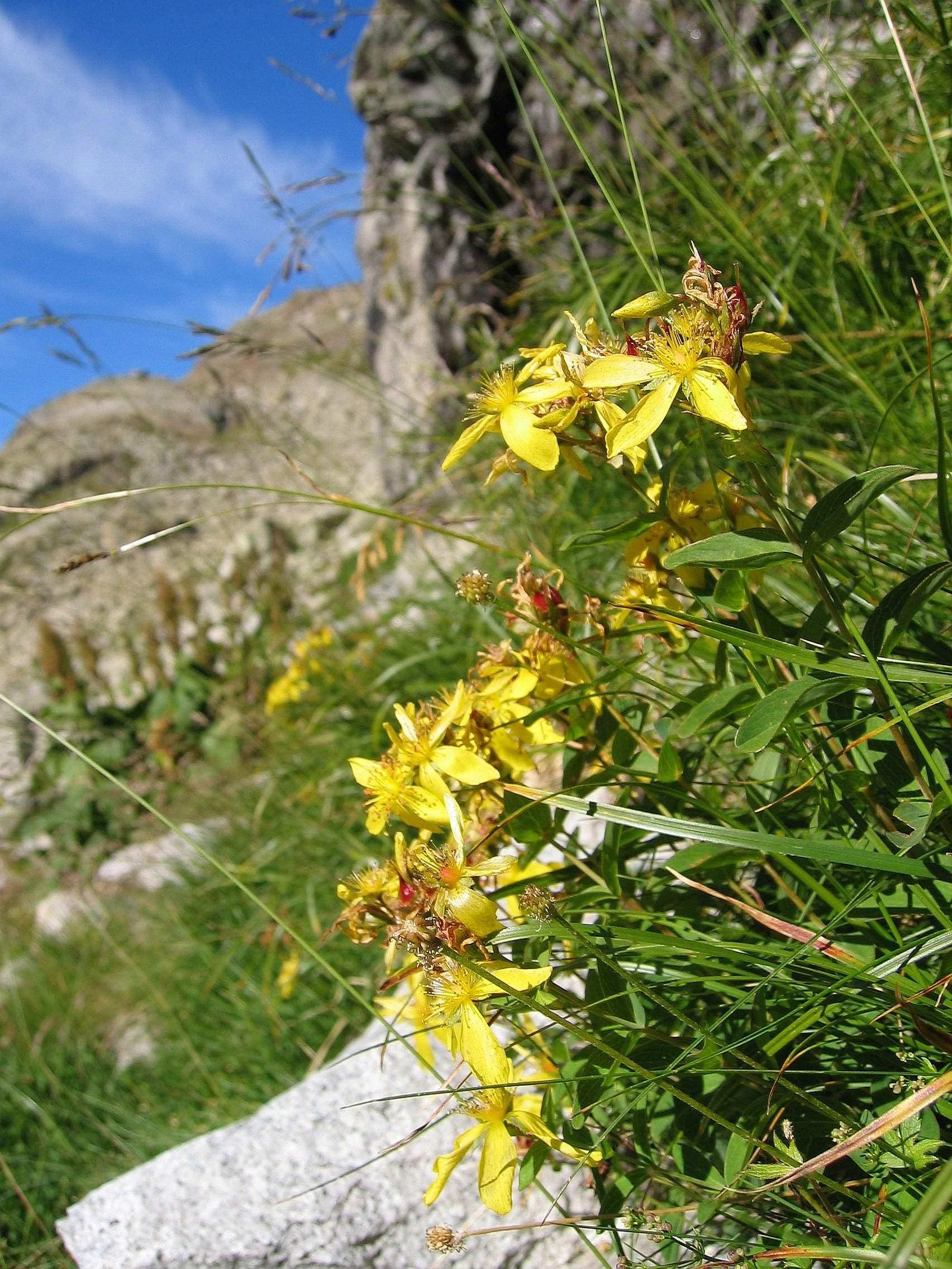 Hypericum richeri subsp burseri