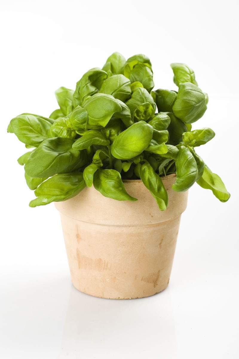 Basilikum Pflanze frischer Basilikum Topfpflanze Kr C3 A4utergarten