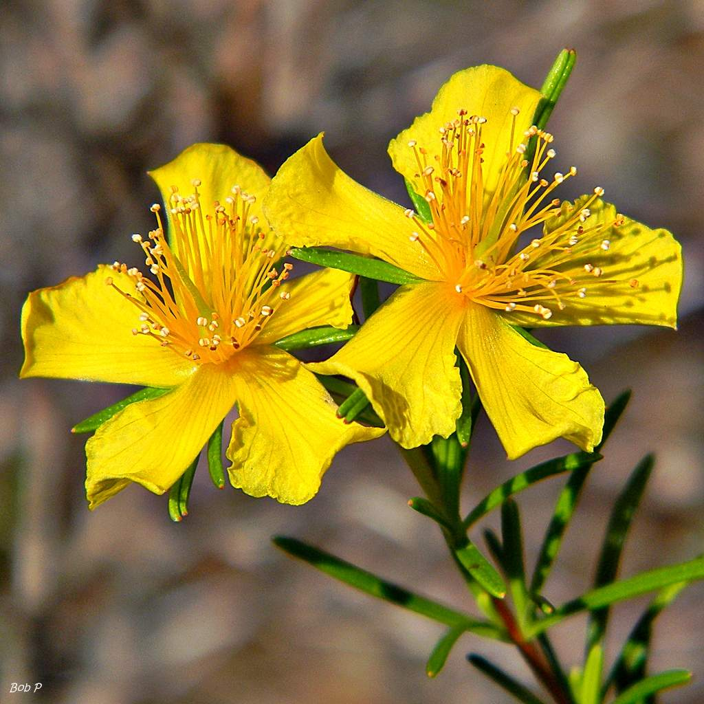 Peelbark St Johns wort Hypericum fasciculatum %