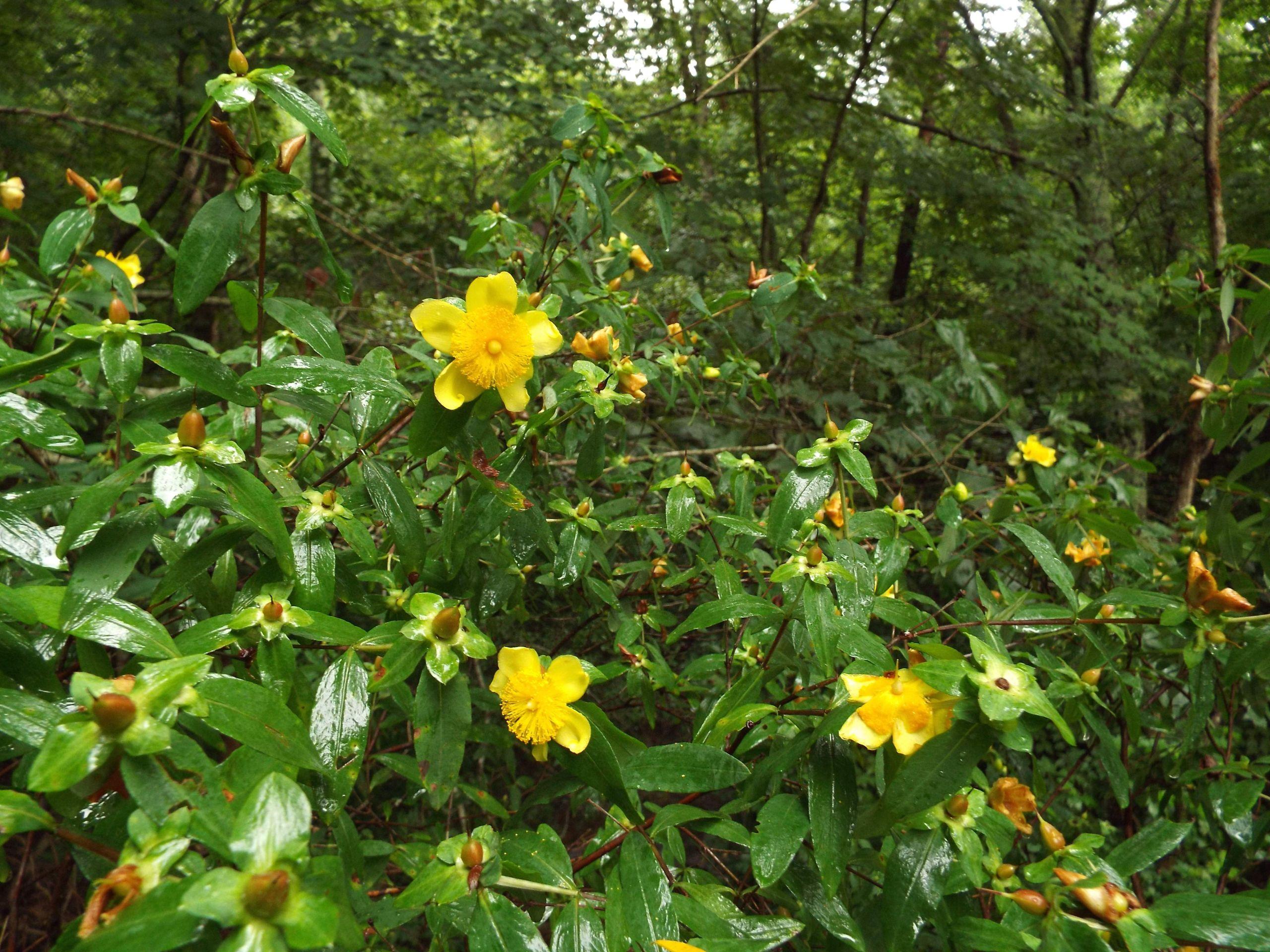 Hypericum frondosum Cedar glade st johnswort JPG