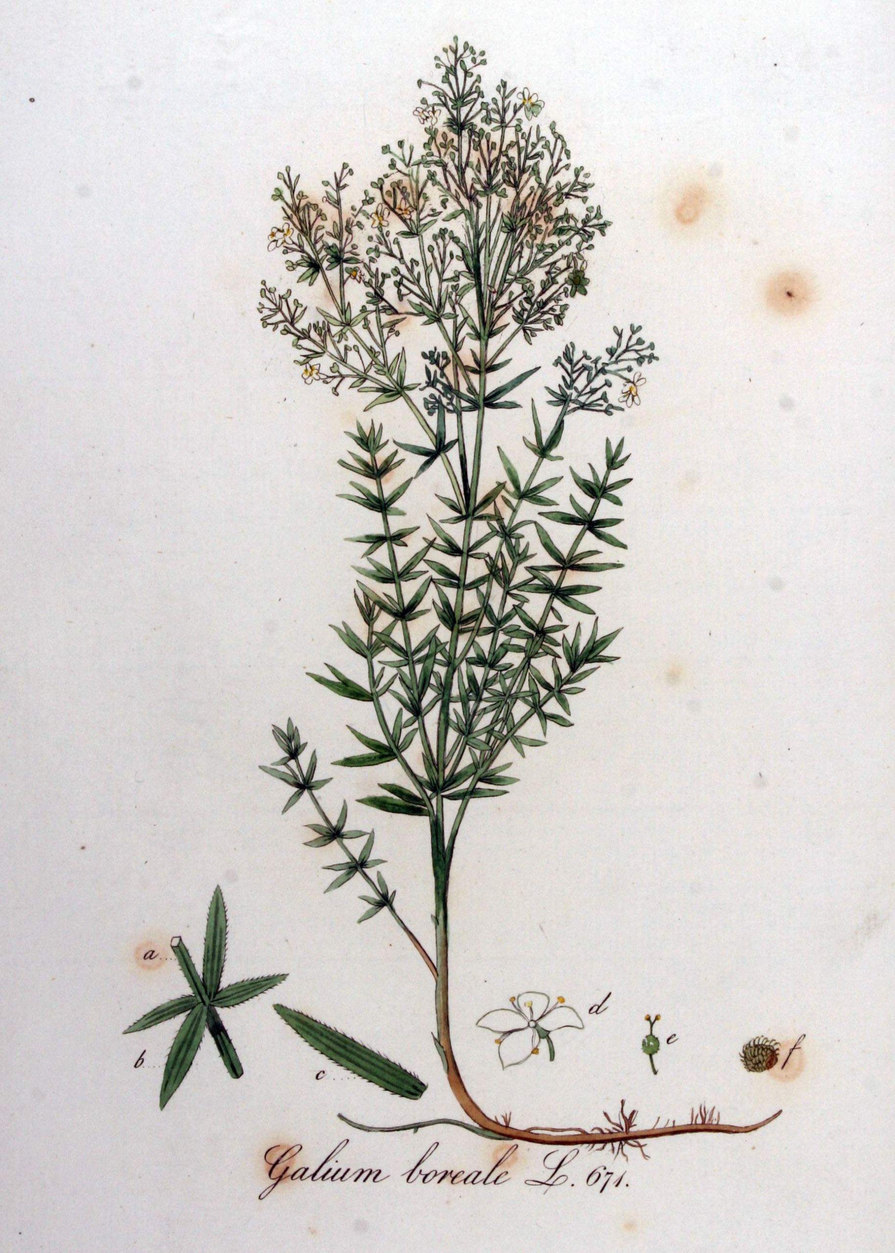 Galium boreale — Flora Batava — Volume v9