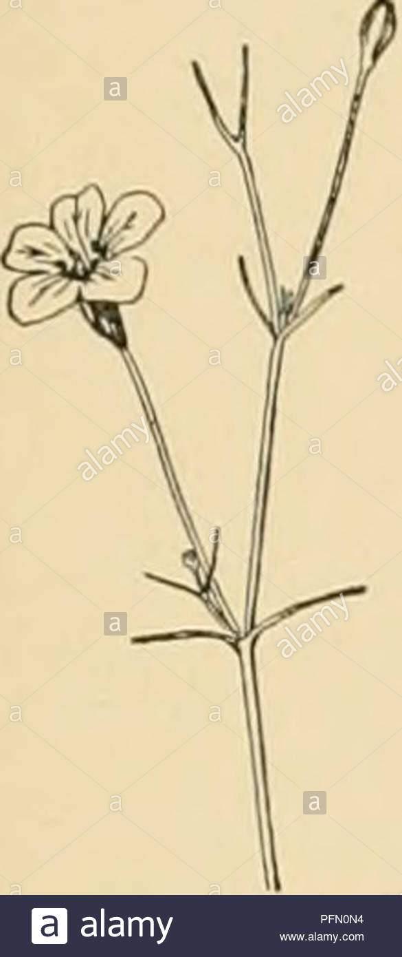 cyclopedia der amerikanischen gartenbau bestehend aus anregungen fur den anbau von gartenpflanzen beschreibungen der arten von obst gemuse blumen und zierpflanzen in den vereinigten staaten und in kanada verkauft zusammen mit geographischen und biographische skizzen gartenbau gartenbau gartenbau gartenbau gypsophila 705 nur leicht villous ivs oval ganze oder repand grun beide seiten fls gelb fragiant cliina br i milg ilcolor do 3 3 ft der looser m ih tliii tl ili i1 i1 il m ara blutenblatter 5 clawccl m1 sm ml usu ally white styles 2 pquot pfn0n4
