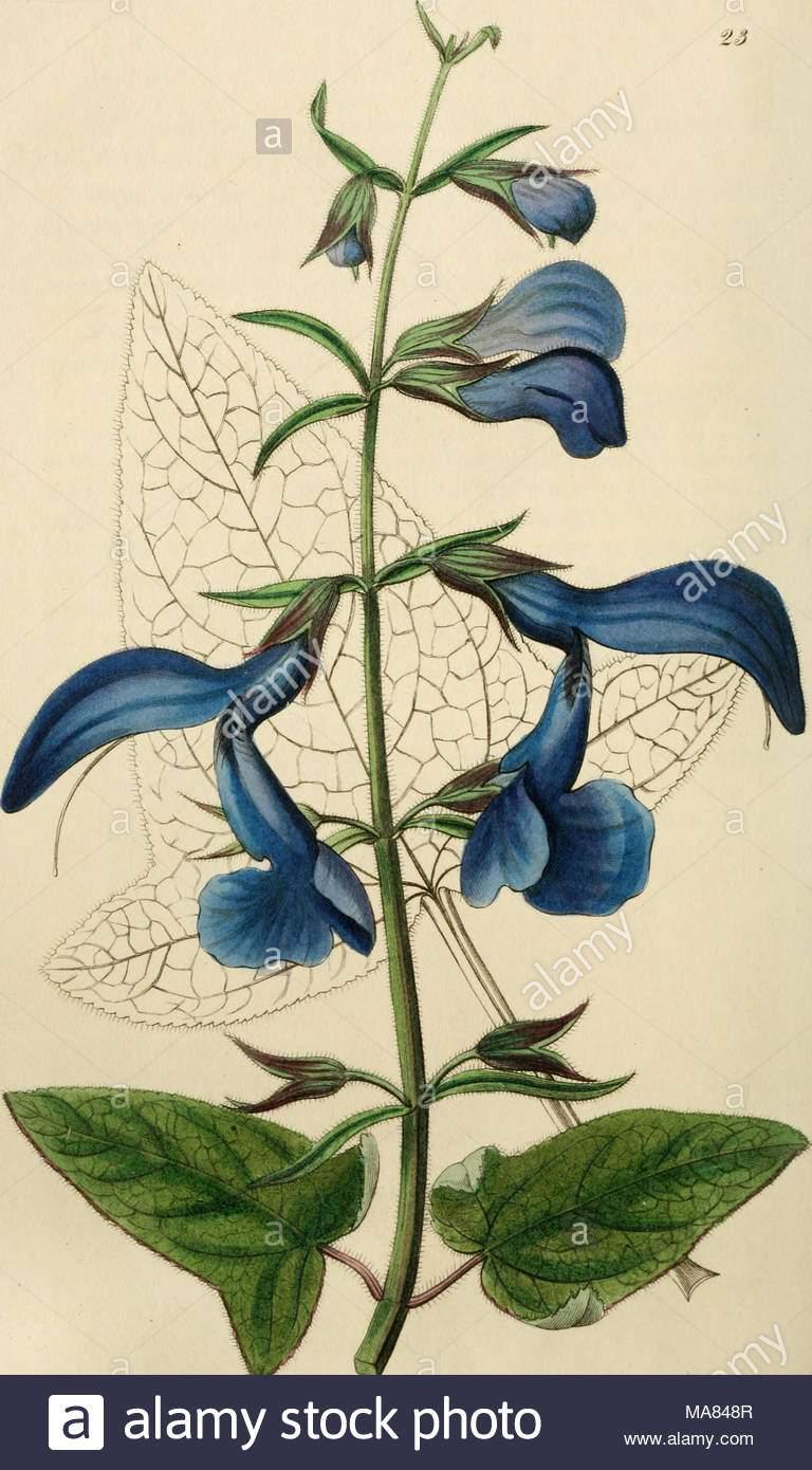 edwards botanische registrieren oder ornamentalen blumen garten und gebusch im 3 ii ein driji iu f ij xt abb cacull j fnj 1 ffi a j ist wc yr c ma848r