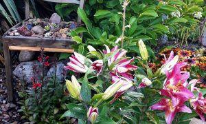 32 Schön Lilien Im Garten Inspirierend