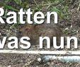 Löcher Im Garten Ratten Luxus Ratten Im Bienen Garten Und Nun