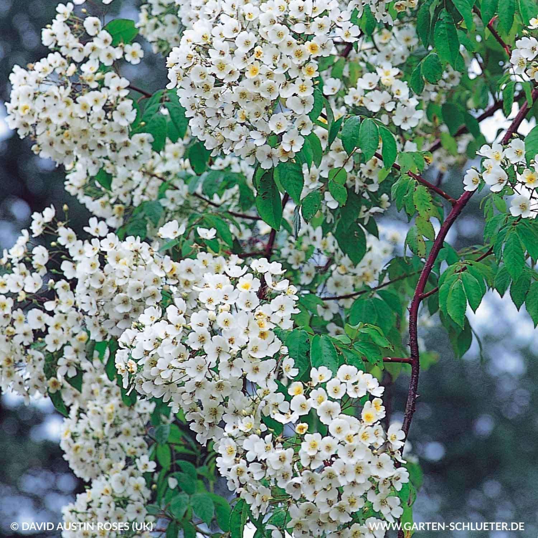1 Historische Ramblerrose R Filipes Kiftsgate Rosa R Filipes Kiftsgate 1280x1280 2x