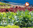 Mais Im Garten Das Beste Von Gärtnern Ohne Chemie Dank Mischkultur