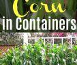 Mais Im Garten Genial How to Grow Corn In Containers