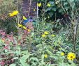 Marder Im Garten Das Beste Von Der topinambur Blüht Wieder Letztes Jahr Wusste Ich Noch