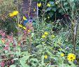 Marder Vertreiben Garten Reizend Der topinambur Blüht Wieder Letztes Jahr Wusste Ich Noch