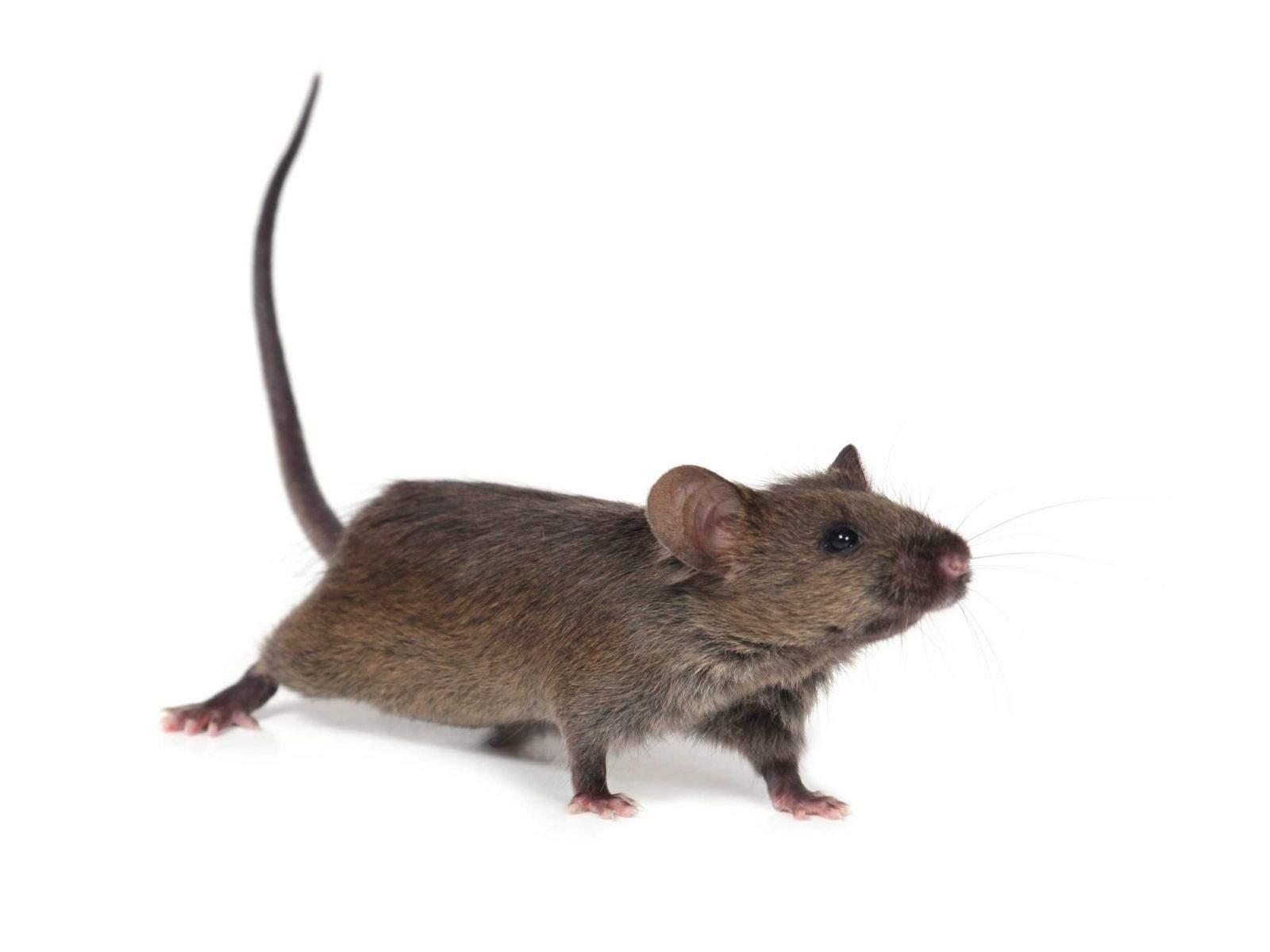 Wie Ratten im Garten loswerden