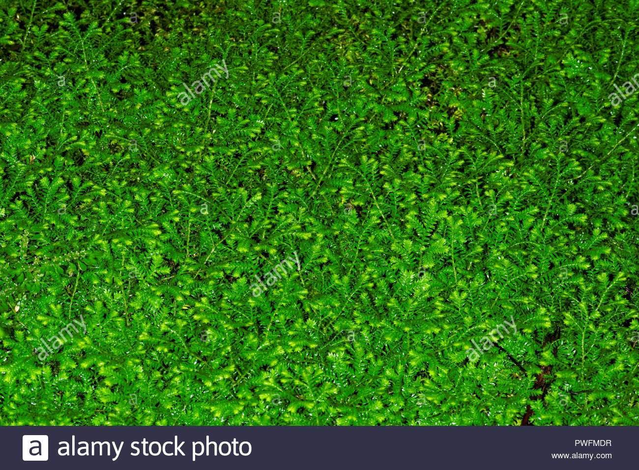 selaginella kraussiana manchmal auch durch den gemeinsamen namen krauss spikemoss pwfmdr