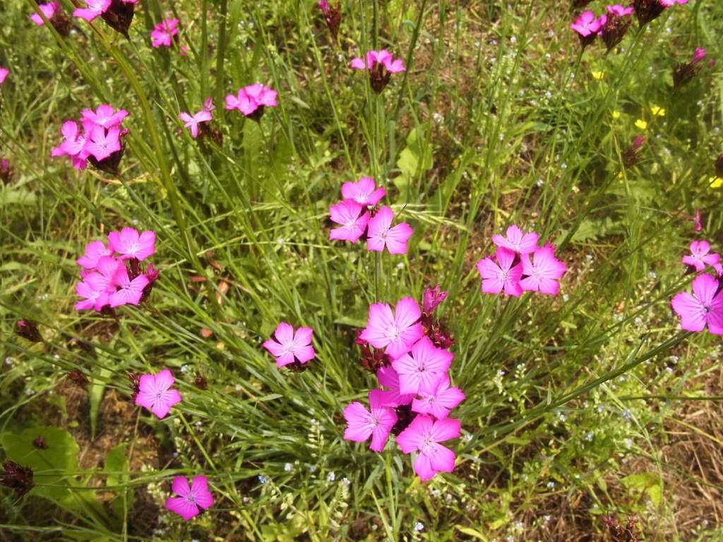 Dianthus carthusianorum Kart usernelke
