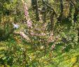 Mein Garten Das Beste Von Rosa Mandelbäumchen In Meinem Garten