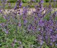 Minze Im Garten Einzigartig 1x Staude Pflanze Katzenminze Six Hills Giant Nepeta