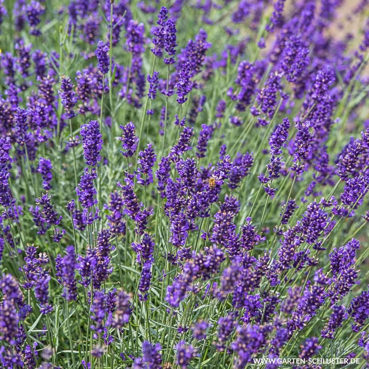 1 Lavendel Imperial Gem Lavandula angustifolia Imperial Gem 600x600 2x