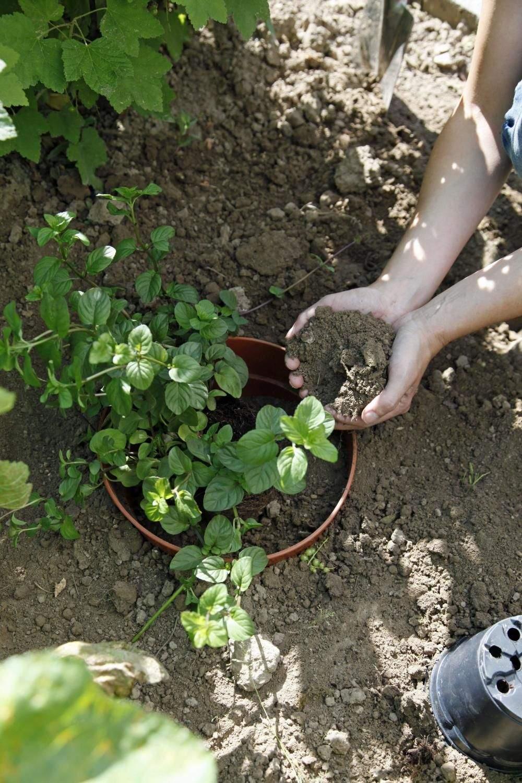 Minze Im Garten Frisch Minze Pflanzen Blumentopf Als Wurzelsperre