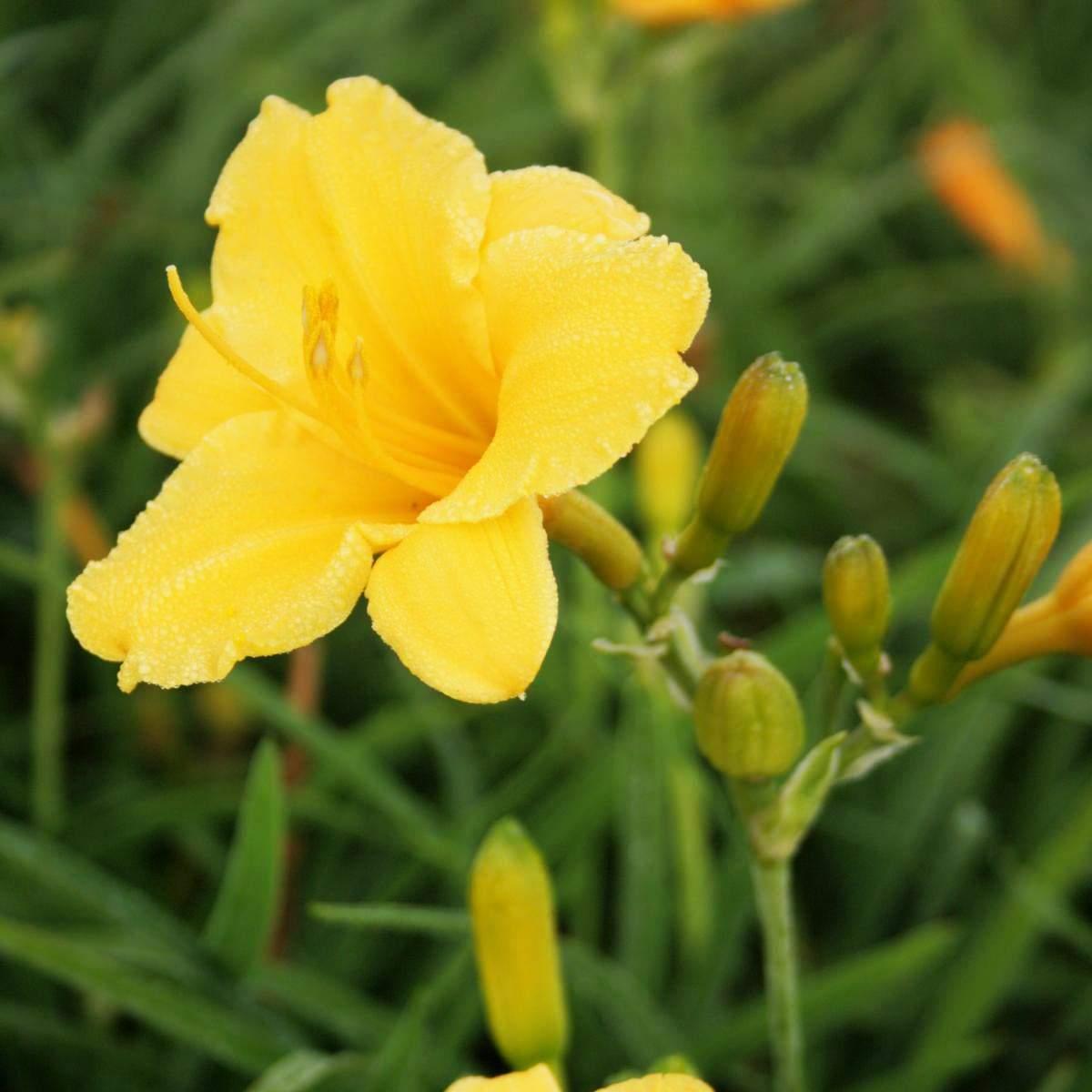 Hemerocallis cultorum Stella d Oro 01