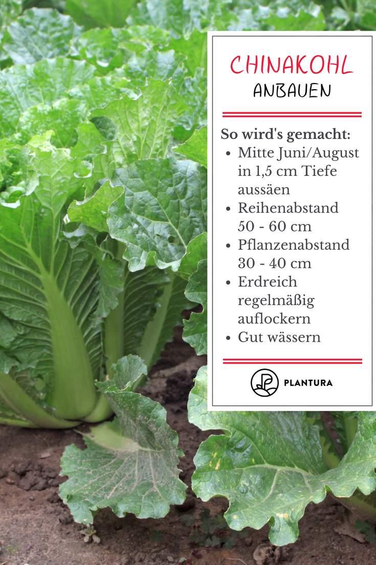 Mischkultur Im Garten Das Beste Von Chinakohl Leckeres Wok Gemüse Aus Dem Eigenen Garten