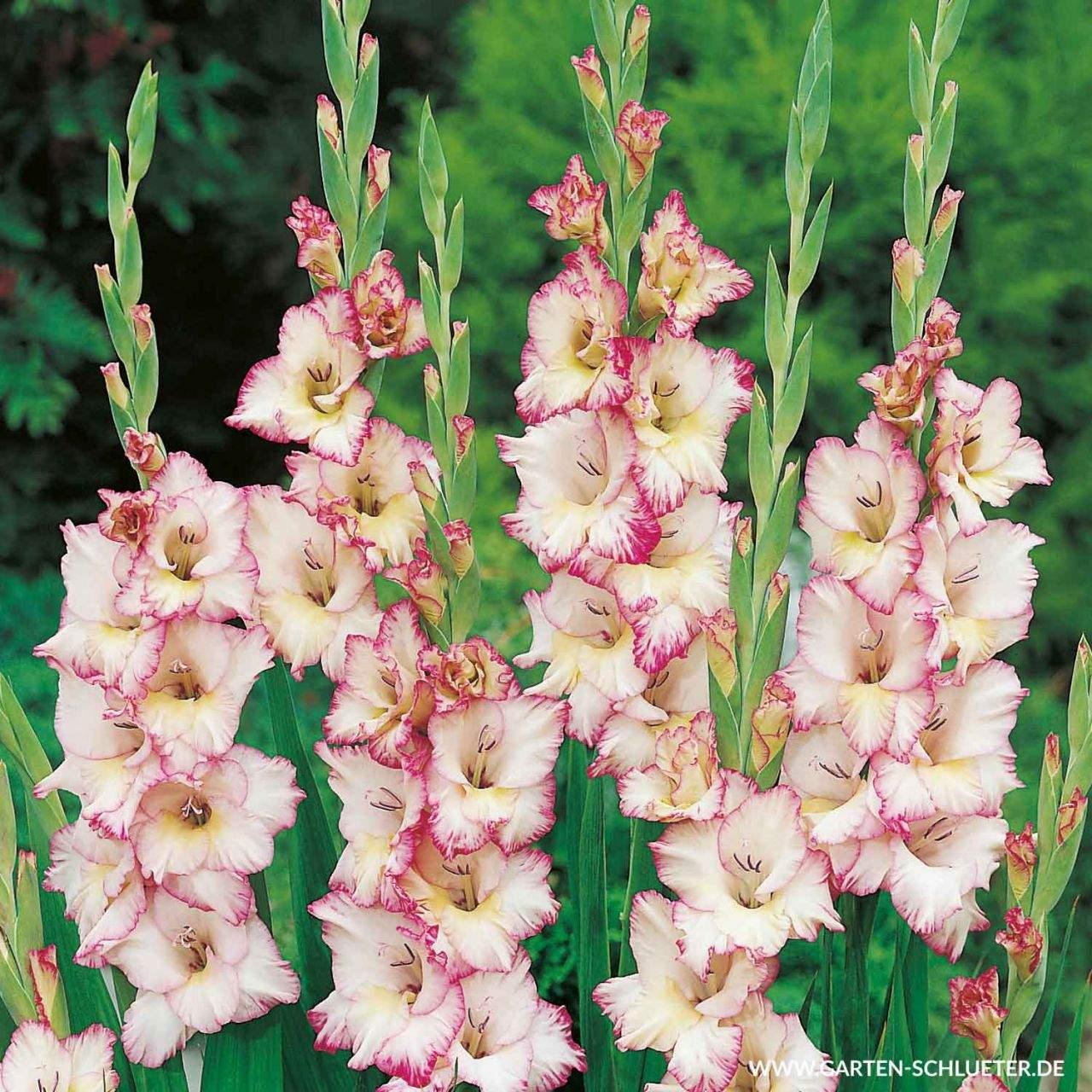 1 Gladiole Priscilla 10 Stueck Gladiolus 1280x1280