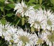 Mischkultur Im Garten Einzigartig Indianernessel Schneewittchen Monarda Fistulosa