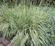 Mischkultur Im Garten Luxus Gestreiftes Pfeifengras Variegata Molinia Caerulea