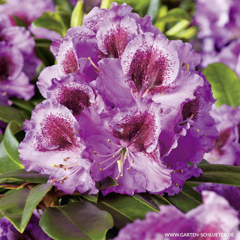 1 Rhododendron Hybride Pfauenauge INKARHO