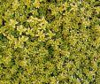 Natursteintreppe Garten Luxus Thymian E B anderson Thymus Citriodorus E B