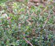 Natursteintreppe Garten Schön Echter Thymian Thymus Vulgaris Meist Jedoch Wird Thymus