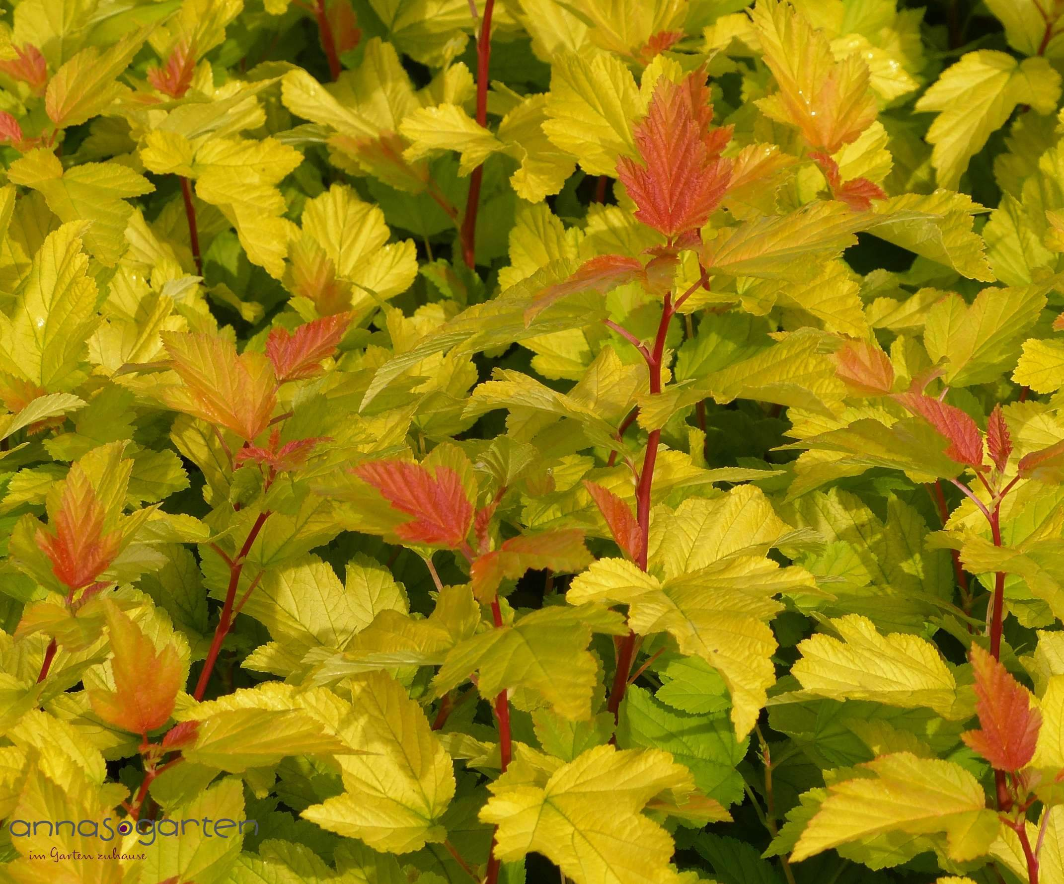 Physocarpus opulifolius Darts Gold 2 1280x1280 2x