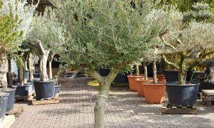 28 Neu Olivenbaum Im Garten Luxus