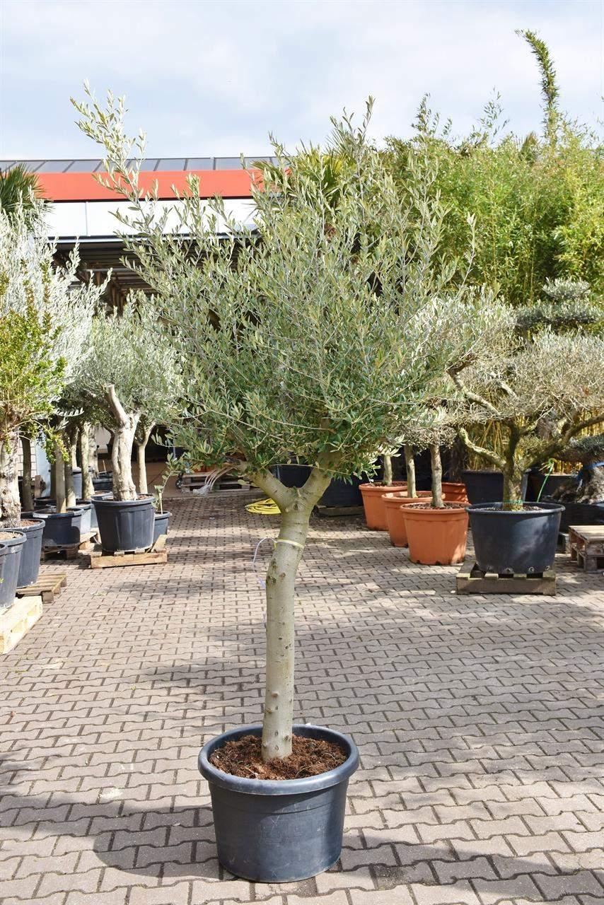 Olivenbaum Im Garten Das Beste Von Diese Website Verwendet Cookies Durch Nutzung Ser