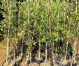 Olivenbaum Im Garten Einzigartig Olivenbaum Moraiolo Bis 20°c Frostverträglich
