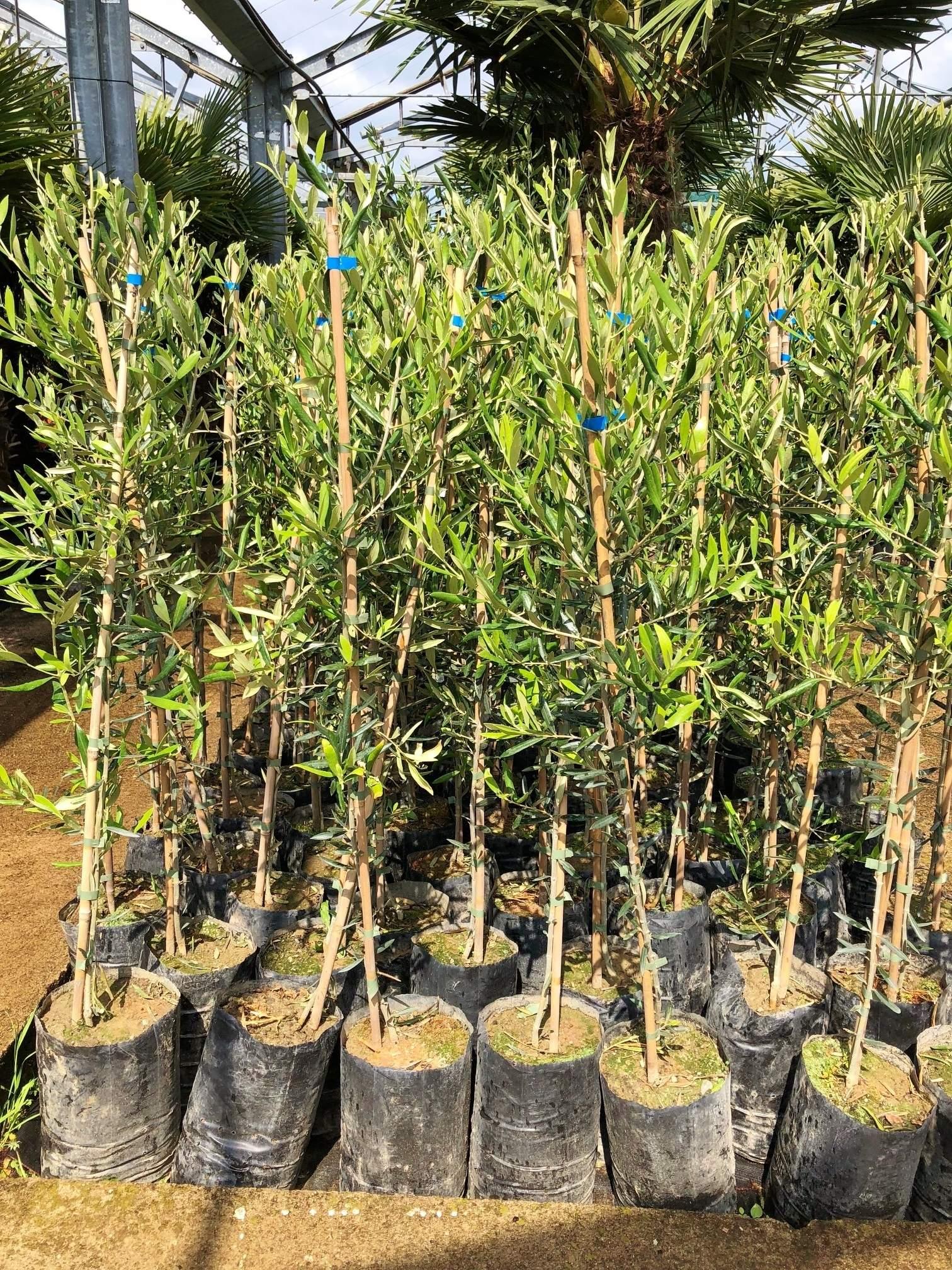 olivenbaum moraiolo bis 20c frostvertraeglich OLEA EURO 3534 1