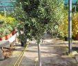 Olivenbaum Im Garten Elegant Olivenbaum Mit Hochstamm