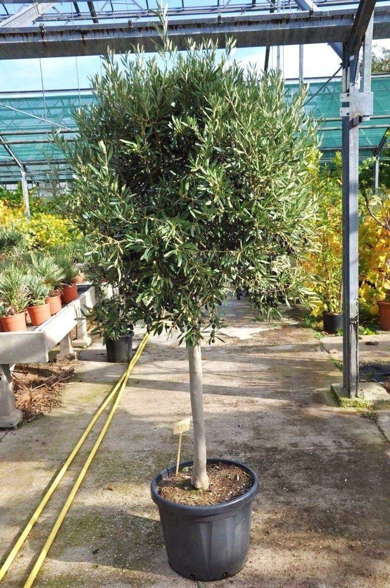 olivenbaum mit hochstamm OLEA EURO 3499 1 1280x1280