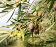 Olivenbaum Im Garten Frisch Pin Von 🌸kristina🌸🍃happy Pinning💞i Wish You All the Best