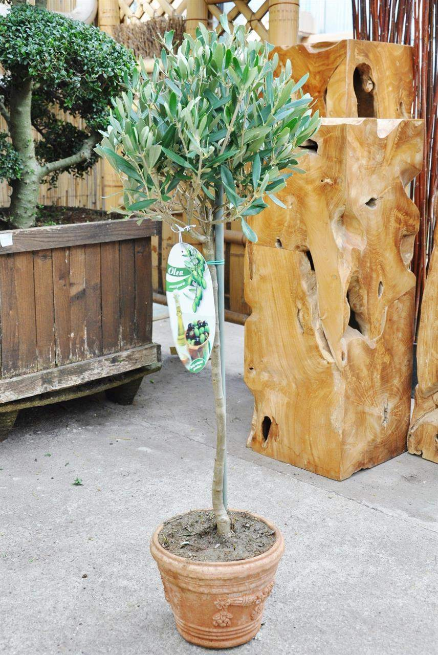 olivenbaum hochstamm terracotta topf OLEA EURO 3472 1 1280x1280