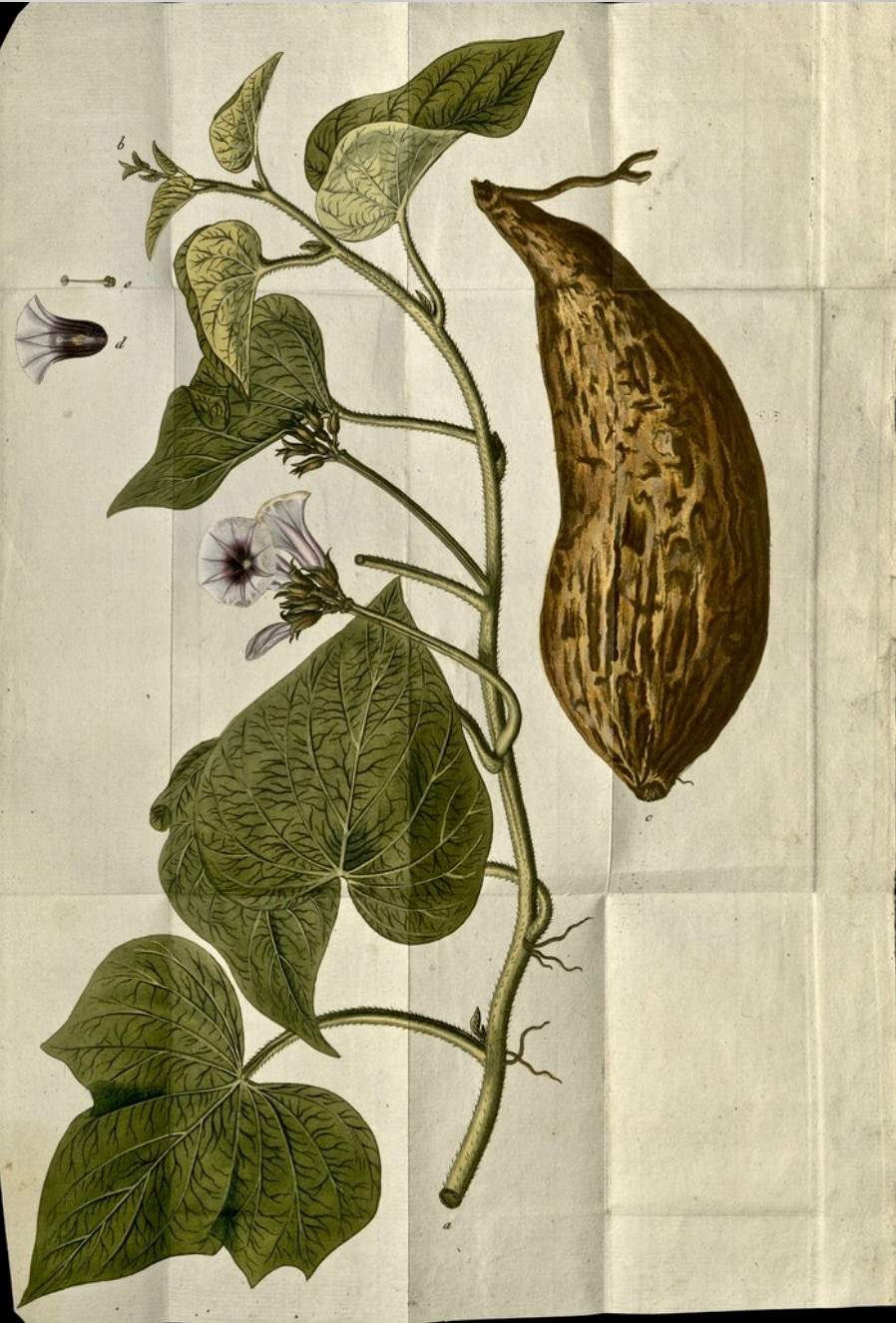 Franz Joseph Märter Sweet potato 1797