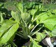 Permakultur Garten Schön Bio Saatgut Pak Choi White Celery Mustard
