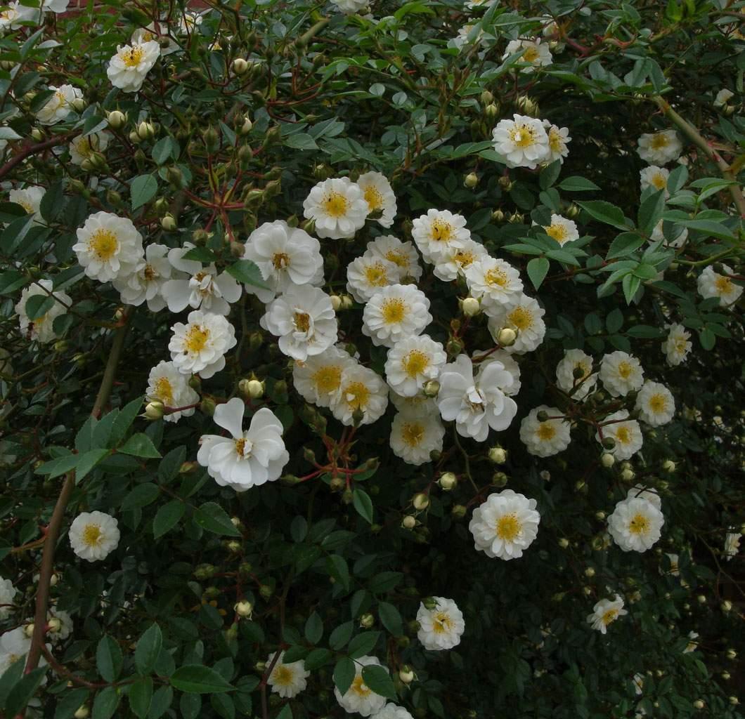 wasserfallrose niagara falls gesund und pflegeleicht sternrußtau rosenrost und mehltau bei rosen vorbeugen und heilen
