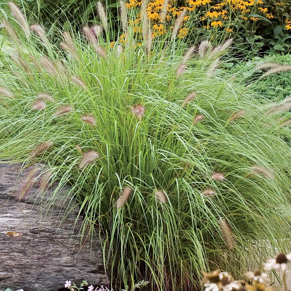 Pilze Im Garten Bilder Reizend Lampenputzergras Redhead