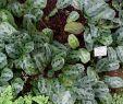 Pinterest Garten Schön File Maranta Cristata Maranta Bicolor Botanischer Garten