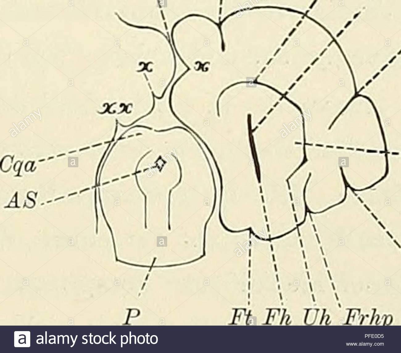 denkschriften der medicinisch naturwissenschaftlichen gesellschaft zu jena abb iimms fpsa sh fo fasp ne fpsa sie bh frhp fpspt fpsa fpspt ft fh uh frhp abb 6 gehirn von echidna hystrix rechte hemisphare durch den okzipitalen und frontalpol ist ein horizontalschnitt ge legt worden nur der hintere theil der unteren schnitthalfte ist dargestellt ausserdem ist letztere lateralwarts und occipitalwarts gedreht i2 fache vergrosserung eine alveus fh fiss hippocampi fi fimbria fascia dentata fpsa fiss postsylvia ant fpspo occipitalast der f postsylvia post frhp f rhinalis pfe0d5