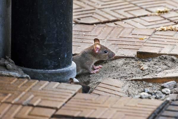 foto show ratten im haus vertreiben und bekaempfen